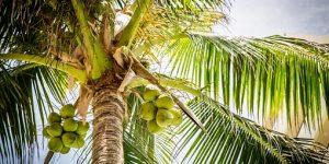 BENEFICIOS DEL COCO » Propiedades y valor nutricional